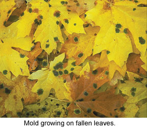 mold growing on fallen leaves